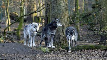 Фото бесплатно волки, лес, деревья