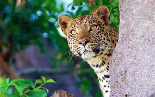 Бесплатные фото леопард,пятна,взгляд,дерево,кошки
