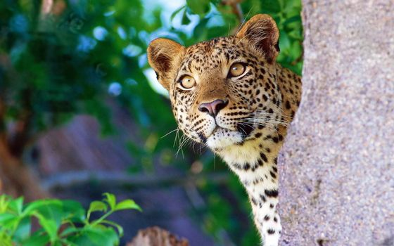 Фото бесплатно леопард, пятна, взгляд