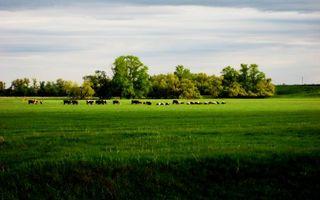Фото бесплатно коровы, поле, трава