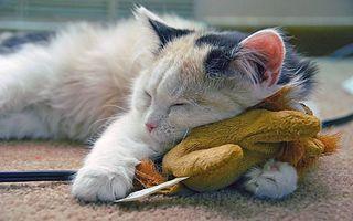 Фото бесплатно кошка, спит, без задних ног