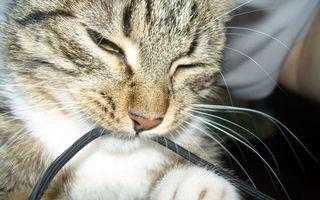 Бесплатные фото кот,котенок,шнур,нос,глаза,окрас,лапы