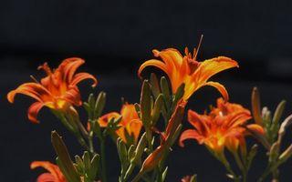 Фото бесплатно лепестки, оранжевые, пестики