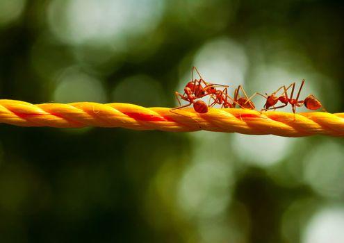 Бесплатные фото муравьи,красные,оранжевая,веревка,борьба,насекомые
