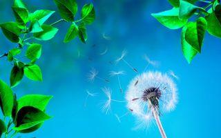 Фото бесплатно одуванчик, пух, природа