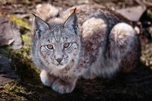 Photo free lynx, gray, wool