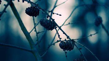 Фото бесплатно шишки, ветка, почки