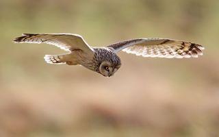 Фото бесплатно сова, полет, крылья, перья, глаза, хвост, птицы