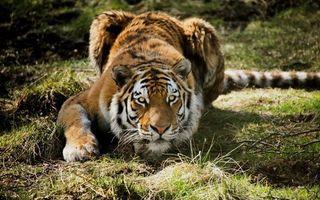 Бесплатные фото тигр,шерсть,окрас,полоски,лапы,когти,нос