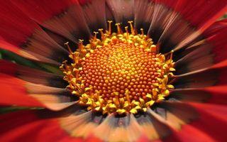 Бесплатные фото цветок,сердцевинка,лепестки,тычинки,пестики,красный,макро