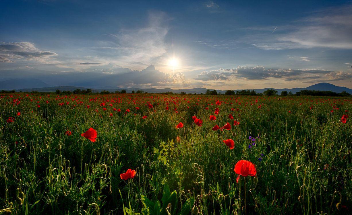 Фото бесплатно закат, поле, маки, цветы, пейзаж, пейзажи