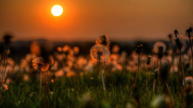 Фото бесплатно закат, солнце, одуванчики