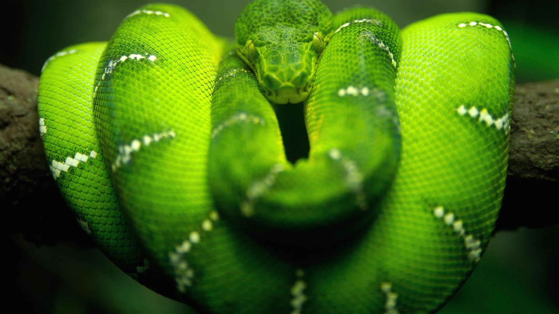 змея, зеленая, красивая