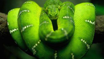 Заставки змея,зеленая,красивая,глаза,века,чешуя,животные