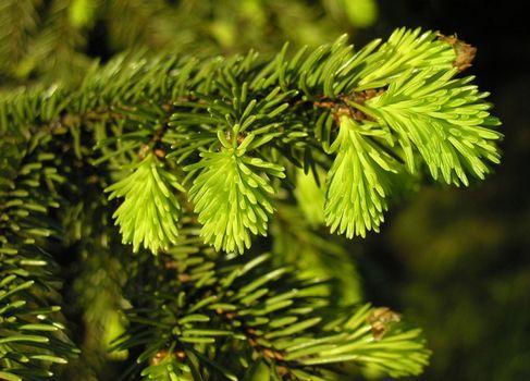 Заставки ель, ветка, зеленый цвет