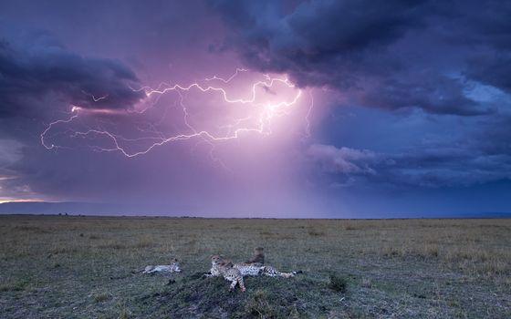 Photo free cheetahs, family, thunderstorm