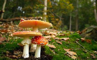 Photo free mushrooms, fly agarics, forest