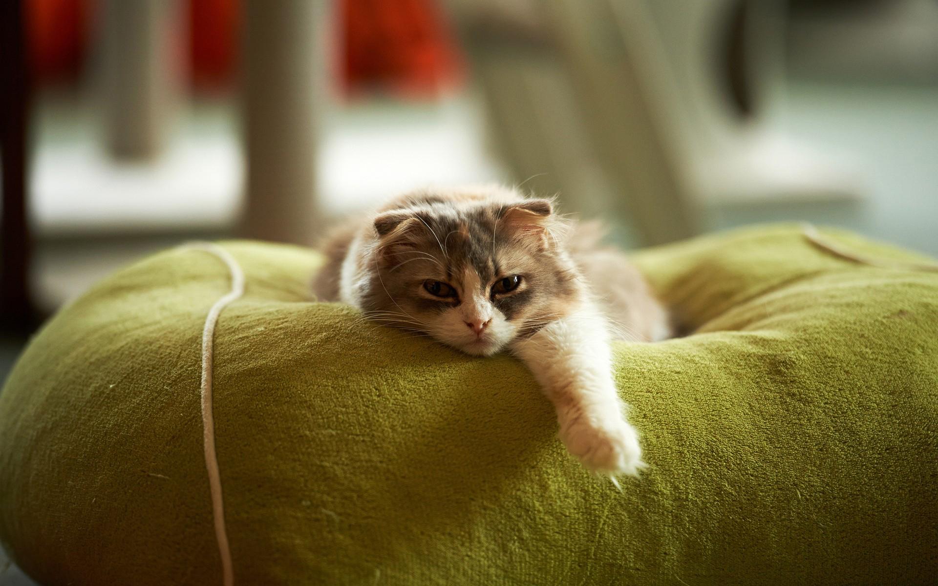 Обои кот, котенок, уши, глаза