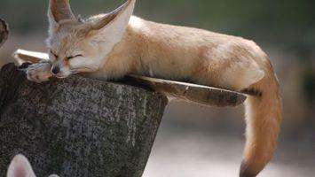 Фото бесплатно лиса, спит, глаза