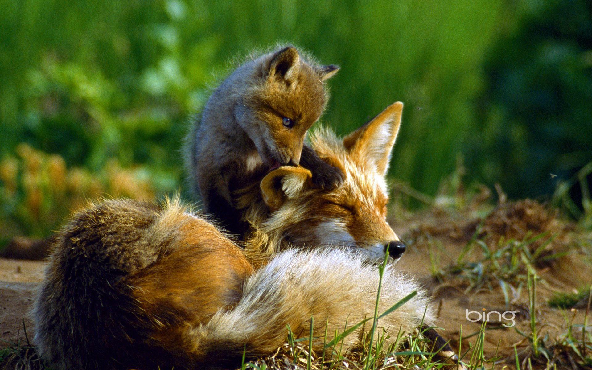 картинка лисы с лисенком