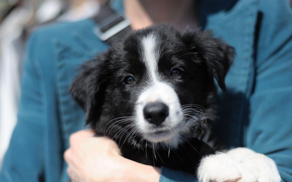 Фото бесплатно пес, щенок, ошейник, порода, шерсть, лапы, нос, уши, руки, человек, собаки, собаки