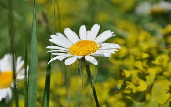 Фото бесплатно ромашка, стебель, листья