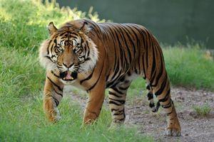 Бесплатные фото тигр,рык,зубы,клыки,окрас,полосатый,лапы