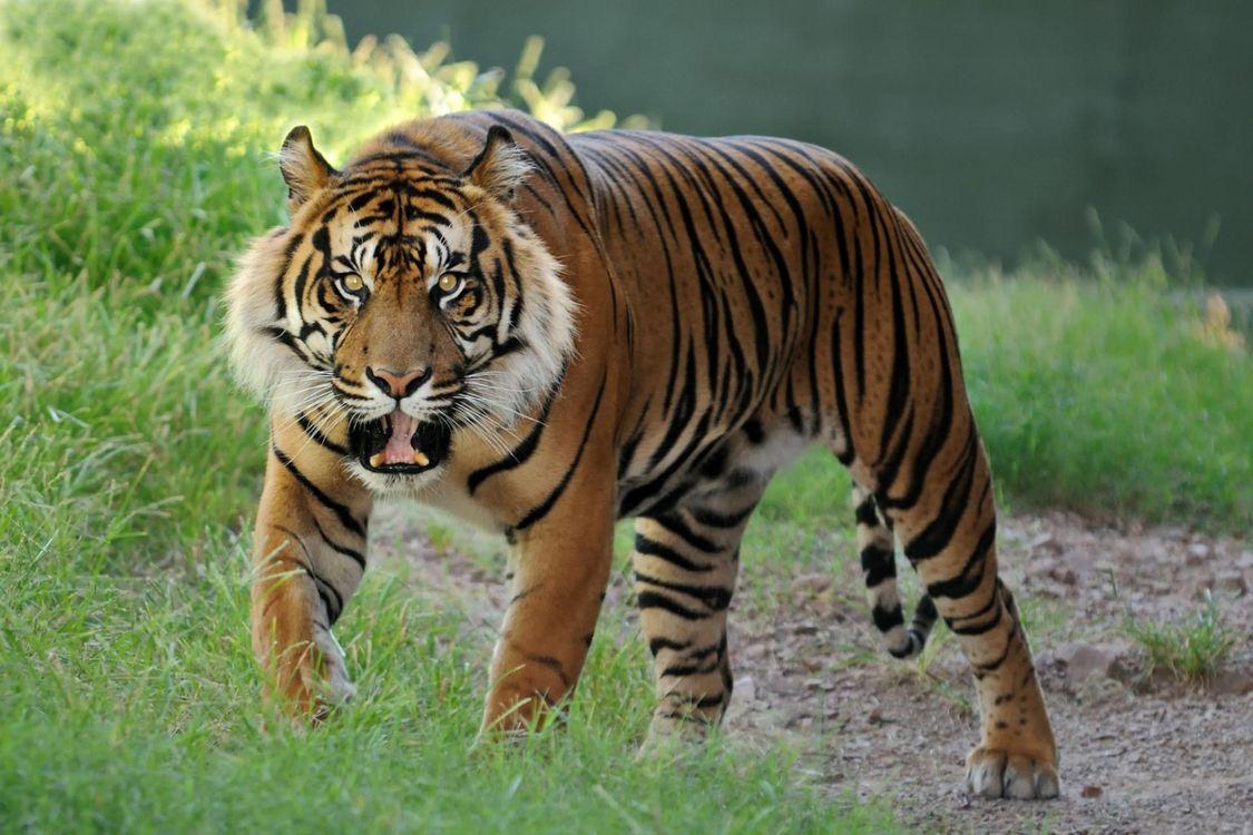 Фото бесплатно тигр, рык, зубы, клыки, окрас, полосатый, лапы, шерсть, уши, усы, злой, охотник, хищник, животные, животные