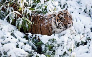 Бесплатные фото тигр,снег,зима,листья,зелень,полоски,животные