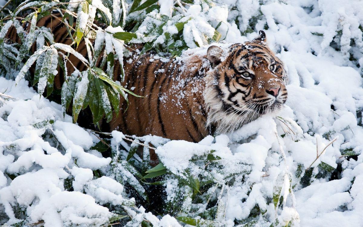 Фото бесплатно снег, тигр, листья - на рабочий стол