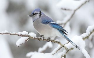 Бесплатные фото зима,ветка,снег,птичка,окрас,голубой,клюв