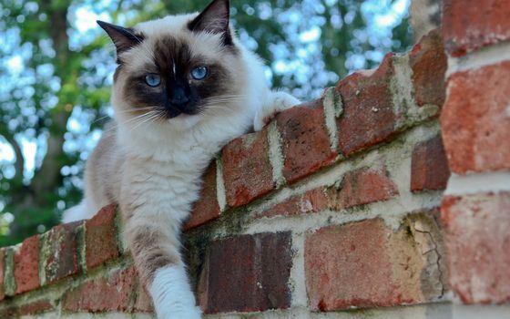 Фото бесплатно кот, на заборе, кирпичном, голубые глаза, кошки