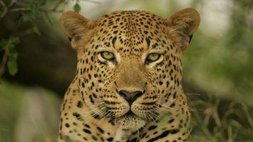 Бесплатные фото леопард,кот,глаза,шерсть,уши,усы,пятна