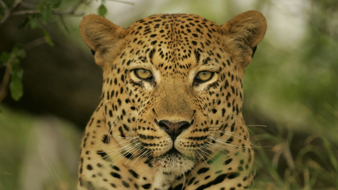 Photos for free cheetah, cat, eyes - to the desktop
