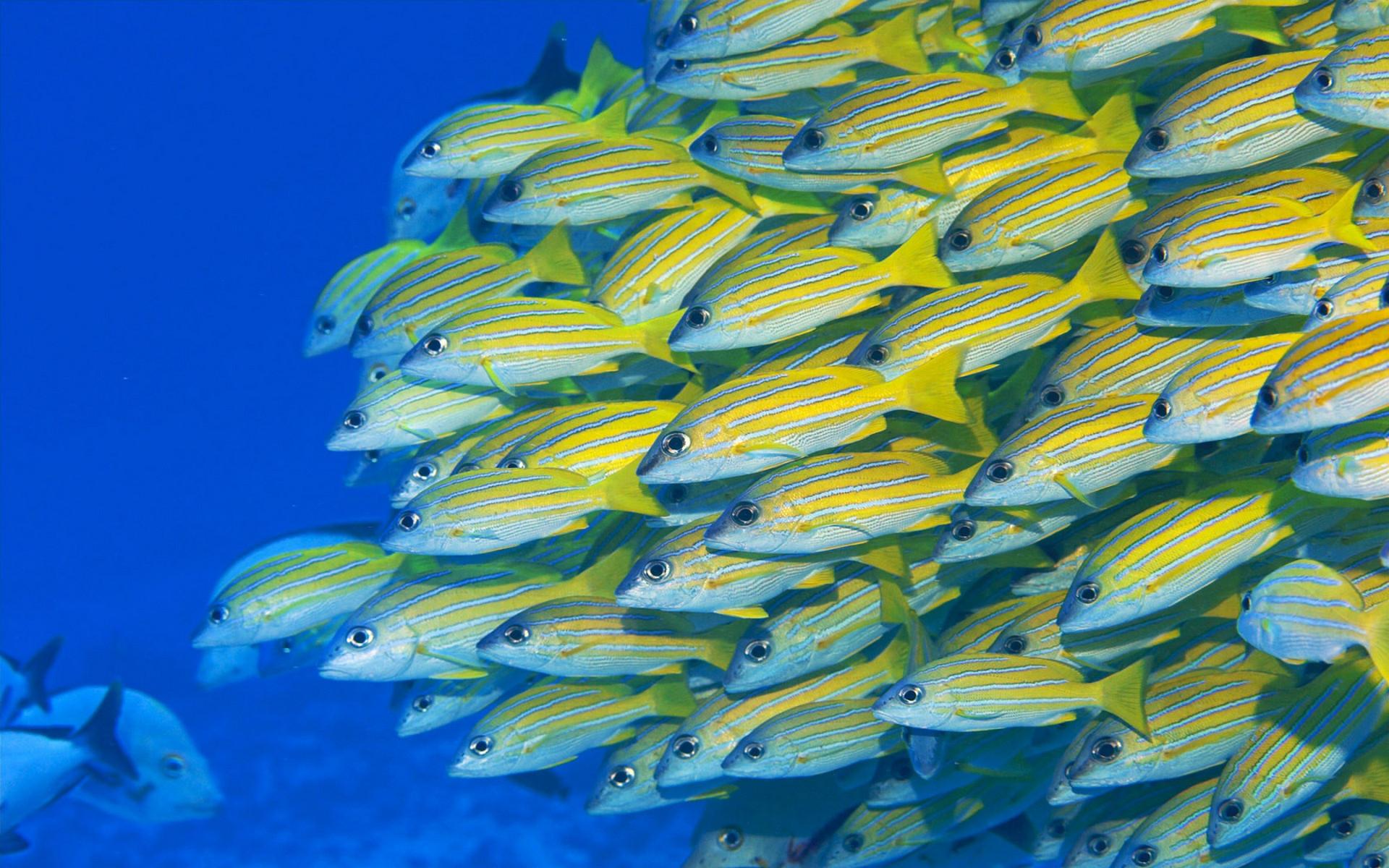Желтая рыбка  № 1707670  скачать