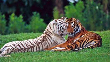 Фото бесплатно тигры, трава, лес