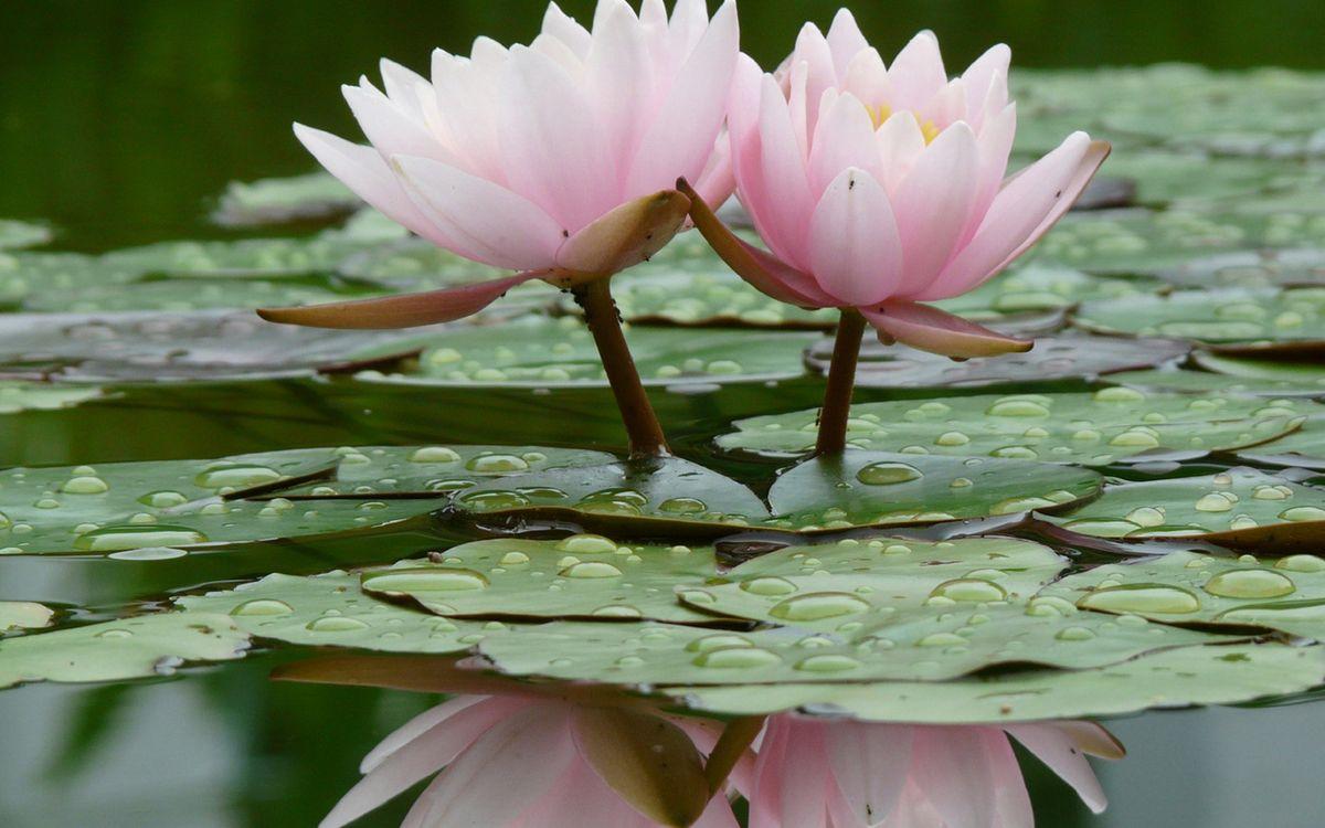 Фото бесплатно водоем, листья, зеленые, лотосы, лепестки, розовые, цветы