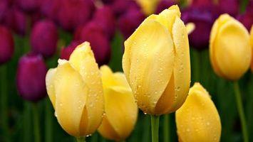 Фото бесплатно цветы, желтые, роса