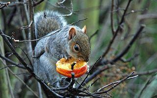 Заставки белка, ест, шерсть, хвост, яблоко, ветки, деревья, лес, грызет, осень, животные