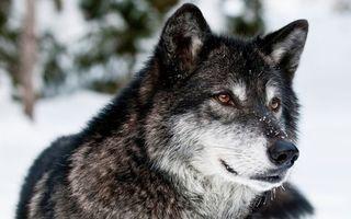 Заставки чёрно-серый волк, снег, янтарные глаза, wolf, животные