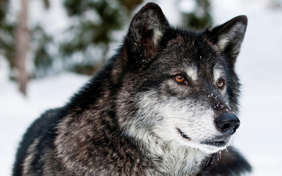 Фото бесплатно чёрно-серый волк, снег, янтарные глаза, wolf, животные, животные