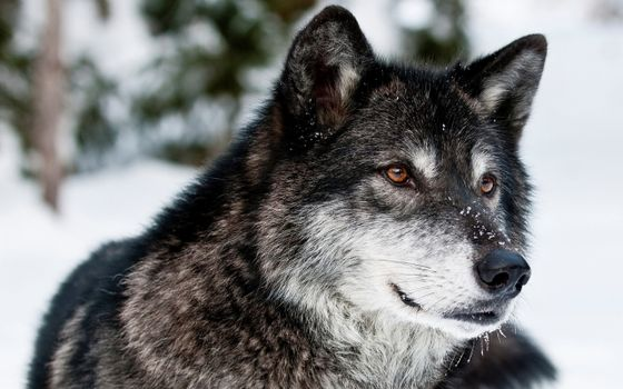 Photo free black and gray wolf, snow, amber eyes