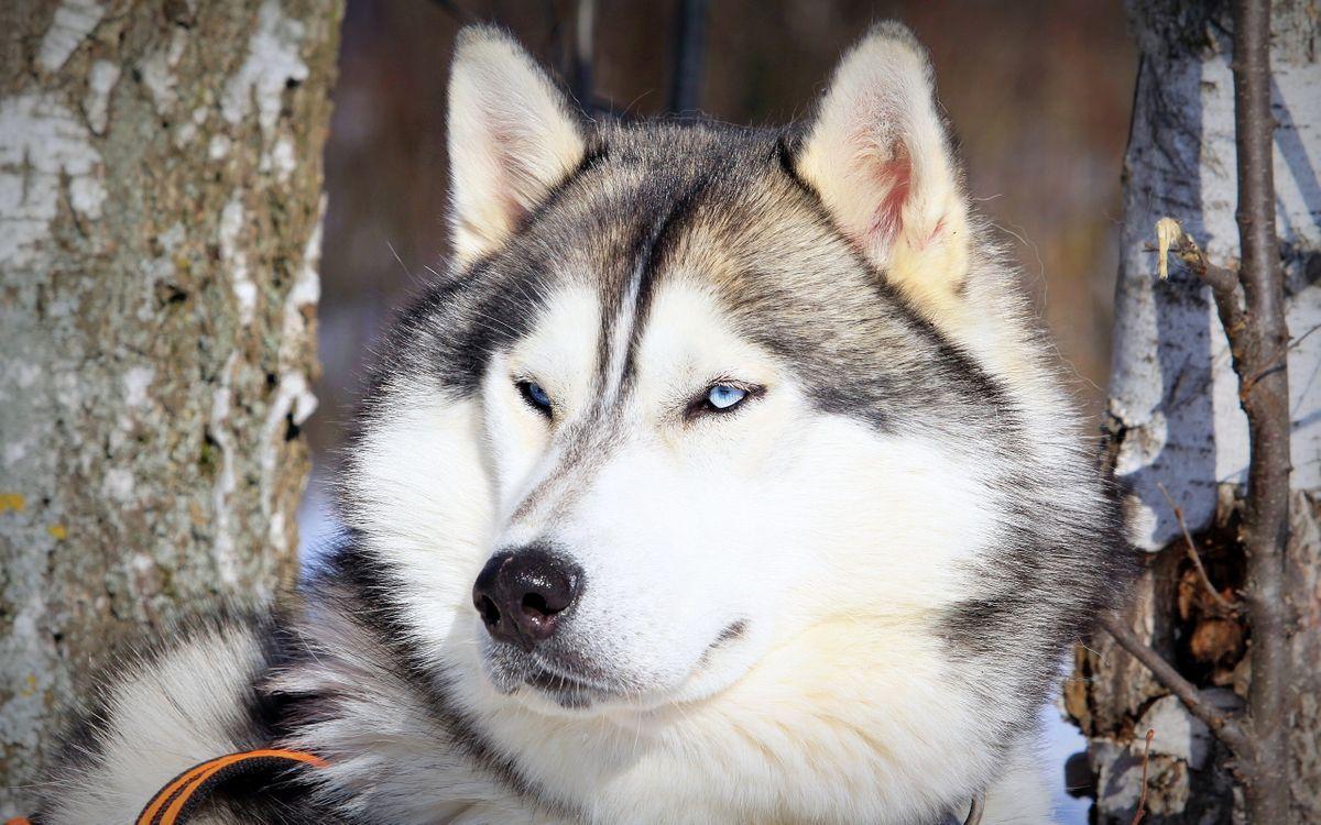 Фото бесплатно хаски, голубые глаза, мордашка, поводок, порода, собаки, собаки