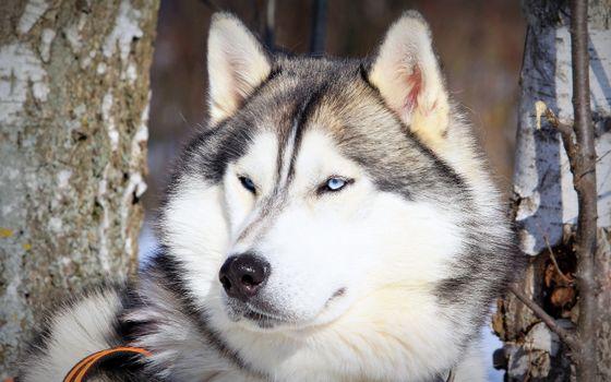 Photo free husky, blue eyes, face
