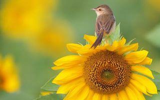 Фото бесплатно калибри, подсолнух, цветок