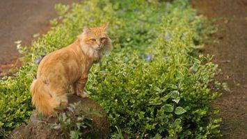Бесплатные фото кот,рыжий,хвост,уши,глаза,камень,цветы