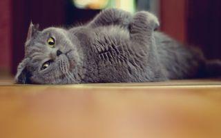 Заставки кот,кошка,серый,взгляд,пол,шерсть,мех