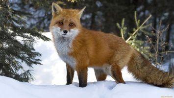 Бесплатные фото лиса,рыжая,хвост,глаза,черные,снег,деревья