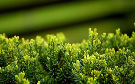 Заставки можжевельник, растение. иголки, листья