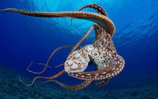Обои осьминог, плывет, море, щупальца, присоски, дно, подводный мир